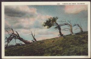 Timberline Trees,CO Postcard
