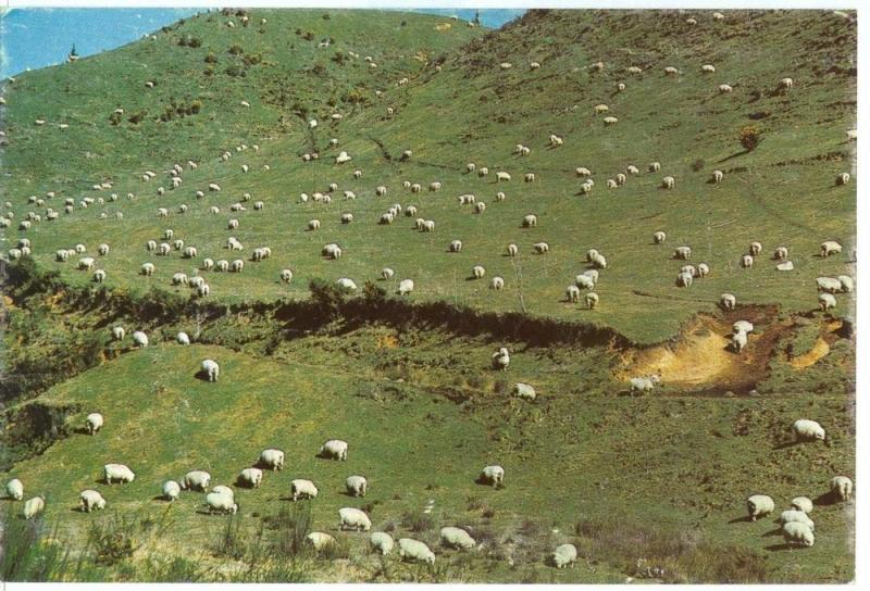 New Zealands Sheep, unused Postcard