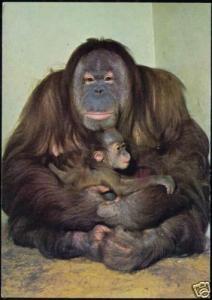 Mother ORANG UTAN with Child, Monkey Ape (1970s)