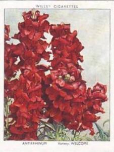 Wills Vintage Cigarette Card Garden Flowers 1938 A Series No 1 Antirrhinum We...