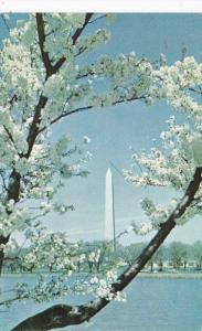 Washington D C Washington Monument and Cherry Blossoms