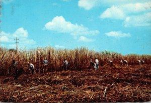 Puerto Rico Cutting Sugar Cane