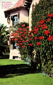 California Mid-Winter With Poinsettias In Bloom