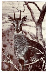American Museum Natural History African Antelope Postcard