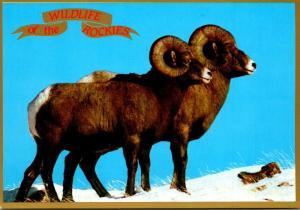 Wildlife Of The Rockies Bighorn Sheep