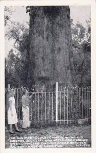 Florida Orlando The Big Tree Oldest Cypress in The U S 3500 Years Old