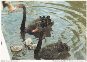 Sprowston Black Swans & Cygnets Norfolk Postcard