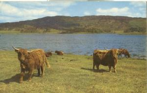 United Kingdom, Highland Cattle by the Loch side 1966 use...