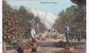 California Picking Blood Oranges 1911
