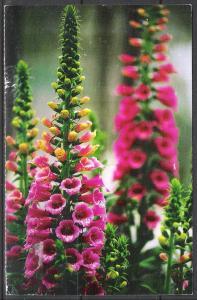 Delphiniums - Flowers - (MX-034)