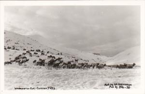 Washington Elk Chinook Pass Washington Real Photo