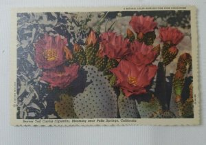 Palm Springs, CALIF ~ Beaver Cactus(Opuntia), Blooming- Stephen H Willard Linen