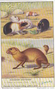 Liebig Trade Card S1600 Unusual Rodents No 4 Cobaye ou Cochon d'Inde & Agouti