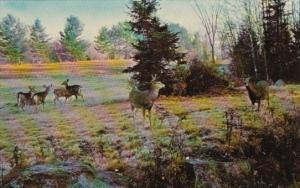Deer Near Blue Mountain Lake Adirondack Museum Blue Mountain Lake New York