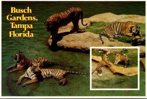 Florida Tampa Busch Gardens The Dark Continent Tigers