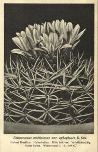 Cactus Cactaceae, Echinocactus Multiflorus Hybopleura 1920s Otto Stoye Postcard