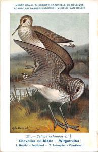Belgie Museum, Tringa ochropus, Chevalier cul-blanc, Green sandpiper, Birds