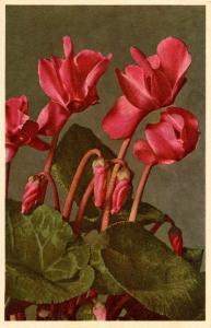 Flowers -   Cyclamen                            (Thor & Gyger #1685)