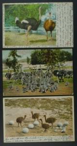 Ostrich farm Pasadena California 3 postcards 1907-1908