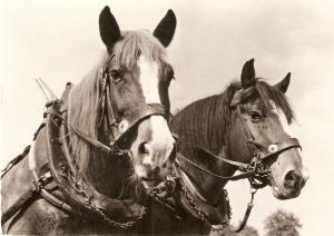 Draught Horses Nice Swiss Postard1950/60. Continental size