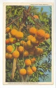 Manchester Oranges @ Mandeville,Jamaica 1910-20s