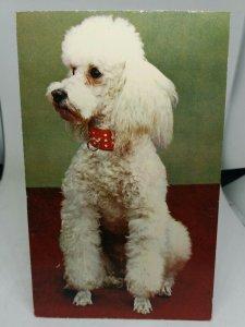 Vintage Postcard White Poodle Dog Posted 1971