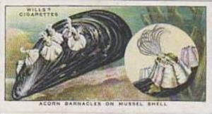 Wills Vintage Cigarette Card The Sea-Shore No 22 Acorn Barnacles On Mussel Sh...