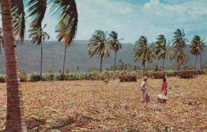 JAMAICA , 50-60s : Harvesting Sugar Cane