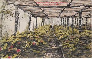 Schwartz Bros. Ginseng Gardens, Spring Green Wisconsin 1910