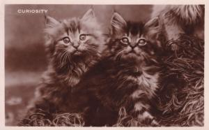 Curiosity Kittens With Giant Eyes Cat Antique Real Photo Postcard