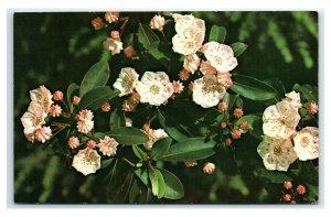 Postcard Mountain Laurel (Kalmia latifolia) Wildflowers of the Mountains G63
