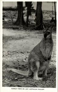 australia, Australian Wallaby (1940s) RPPC