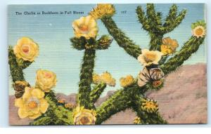 Cholla Buckhorn Desert Cactus Full Bloom Yellow Flowers Vintage Postcard D11