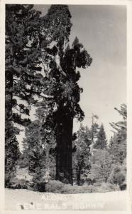 Red wood Trees , Generals Highway , California , 30-40s