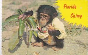 Florida Monkey Humour Chimp Eating Hot Dog