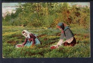 Women Picking Cranberries