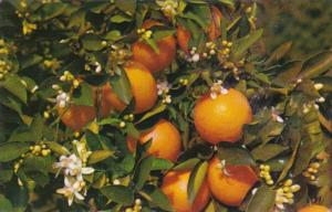 Florida Branch Of An Orange Tree Blooming & Bearing Fruit