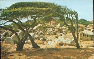 aruba, Netherlands Antilles, Divi -Divi Tree (1960s)