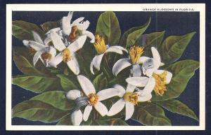 Orange Blossoms Florida unused c1920's