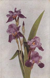 Purple Orchird, PU-1916