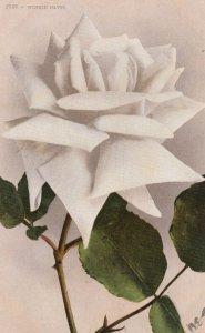 Winnie Davis Rose Flower , 00-10s