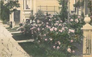 1907 Portland Oregon hand tinted Rose bush undivided postcard 53