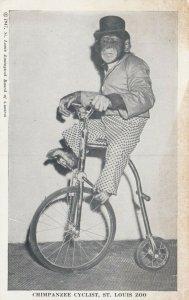 ST LOUIS ZOO, Missouri, 1947; TOMMY Chimpanzee Cyclist