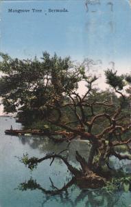 Bermuda Mangrove Tree 1936