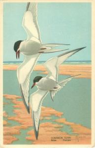 Common Tern by F Yaques Wildlife Post Card Subject 3 1939 White Border Postcard