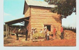 Harvested Tabacco Curing Barn Log Cabin Farmer Family Horse Vintage Postcard