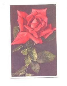 Rose, Swiss Flower Series,