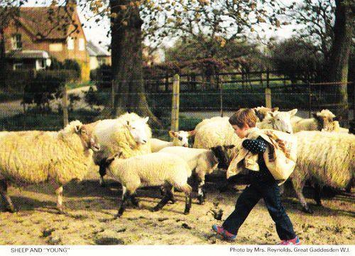 Great Gaddesden Sheep Cattle Animal Farm Hertfordshire Womens Institute Postcard