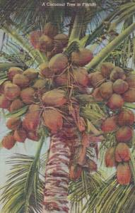 Florida Typical Cocoanut Tree Bearing Fruit Curteich