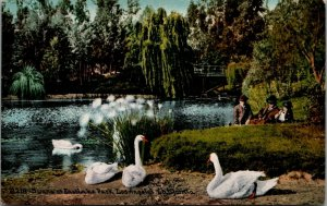 Los Angeles CA~East Lake Park~Close Up Swans~Boys Watch Behind Grassy Spot~c1910